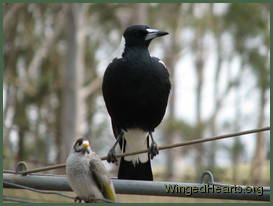 Sophie magpie and Chipkin noisy-miner