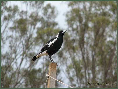 Maggie magpie (male) standing on the post