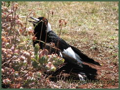 Magpie in a trance - semi-spread position