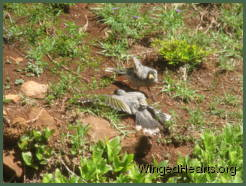 Two noisy miners relax on the dirt bank