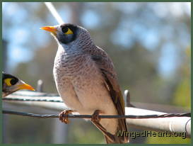 Renutu noisy-miner sittin on the line