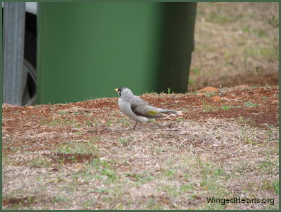 while Chipkin Noisy-miner arrives