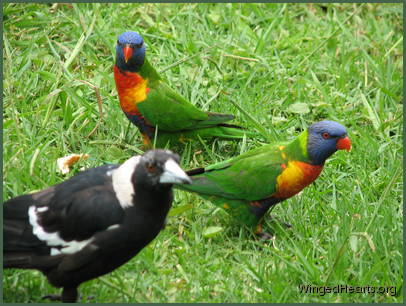 Vicky magpie with visiting rainbow lorikeets