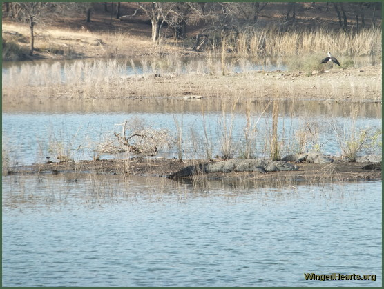 crocodiles at ranthambore