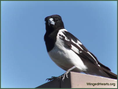mummy butcherbird