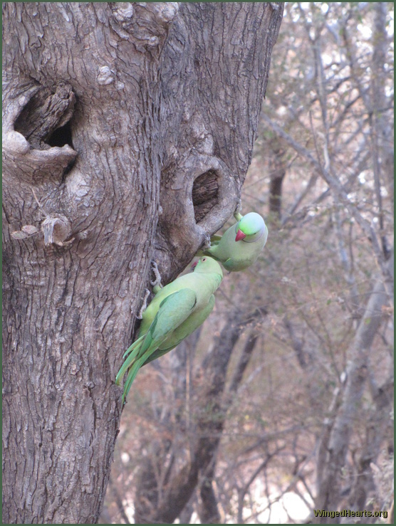 parrots at ranthambore