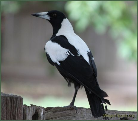 Australian magpie with one leg
