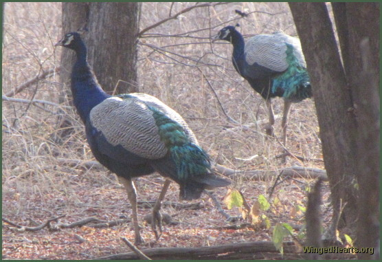 peacocks at Ranthambore