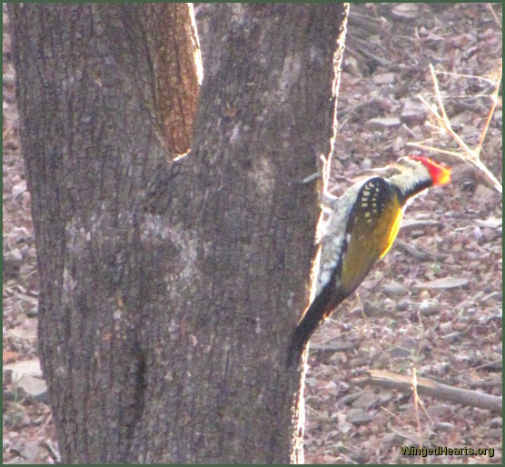 woodpecker at Ranthambore National Park